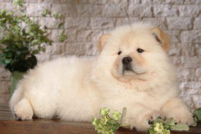 Chow Chow filhote branco