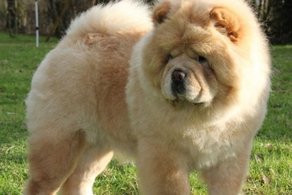 Chow Chow grande