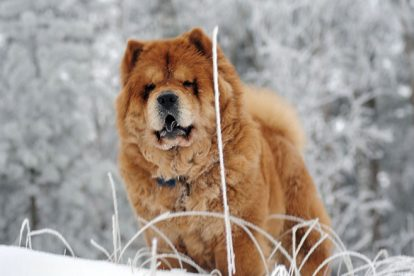 Chow Chow grande na neve