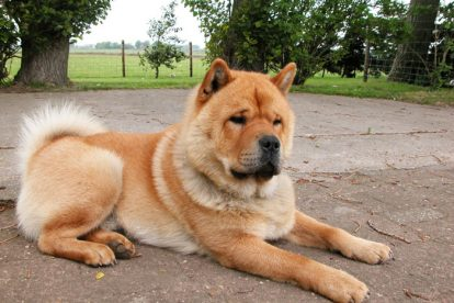 Chow Chow tosado