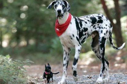 Dogue Alemão arlequim com Chihuahua