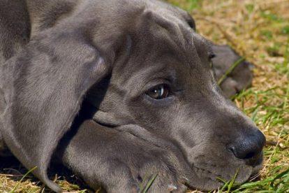 Dogue Alemão azul