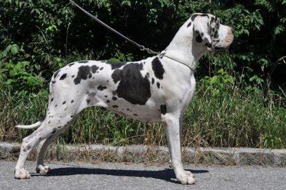 Dogue Alemão fêmea arlequim