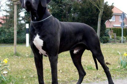 Dogue Alemão grande preto e branco
