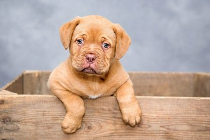 Dogue de Bordeaux filhote