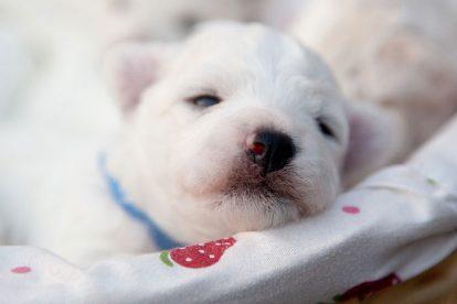 Filhote branco dormindo