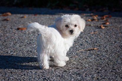 Filhote cachorro branco