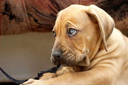 Filhote cachorro marrom