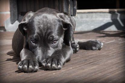Filhote cachorro preto