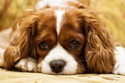 Filhote de cachorro deitado