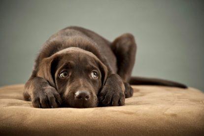Filhote Labrador marrom