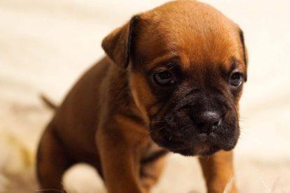 Filhote de cachorro marrom