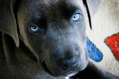 Filhote de cachorro olhos azuis
