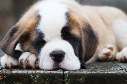 Filhote São Bernardo dormindo