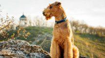 Airedale Terrier: Fotos de cachorros da raça