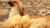 Fotos de cachorros da raça Afghan Hound