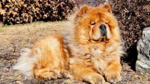 Fotos de cachorros Chow Chow