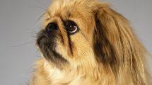 Fotos de cachorros da raça Pequinês