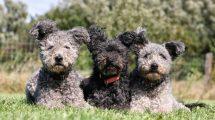 Fotos de cachorros Pumi: Conheça a raça