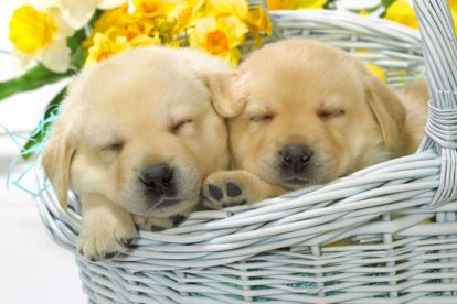 Filhotes de Golden Retriever em cesto