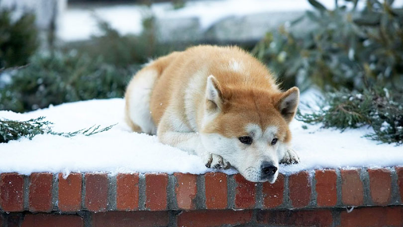 Hachiko cachorro Akita