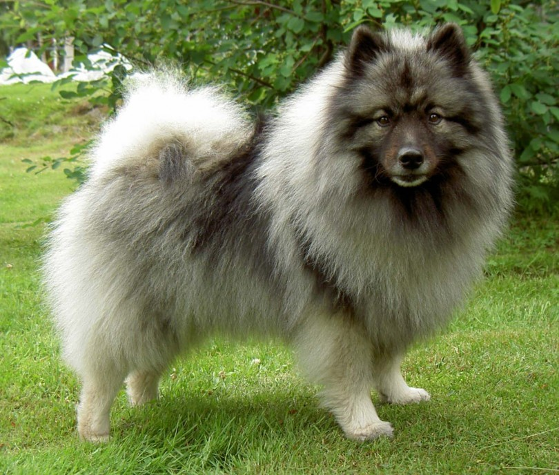 Do Pomskies Eat Other Dogs