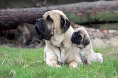 Mãe e filhote cachorros