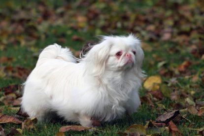 Pequinês albino