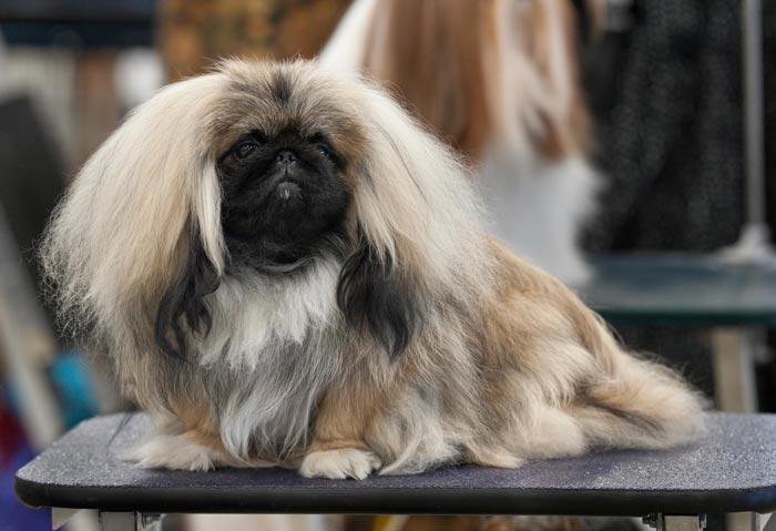 Pequin 234 S Hist 243 Ria Cuidados E Fotos Da Ra 231 A Melhoramigo Dog