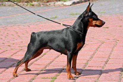 Pinscher Miniatura perfil