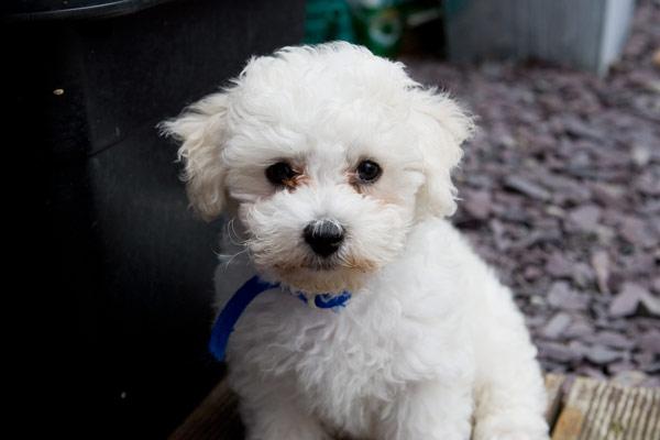 poodle fotos de cachorros da ra a   melhoramigo dog