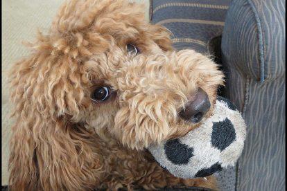 Poodle brincando com bola