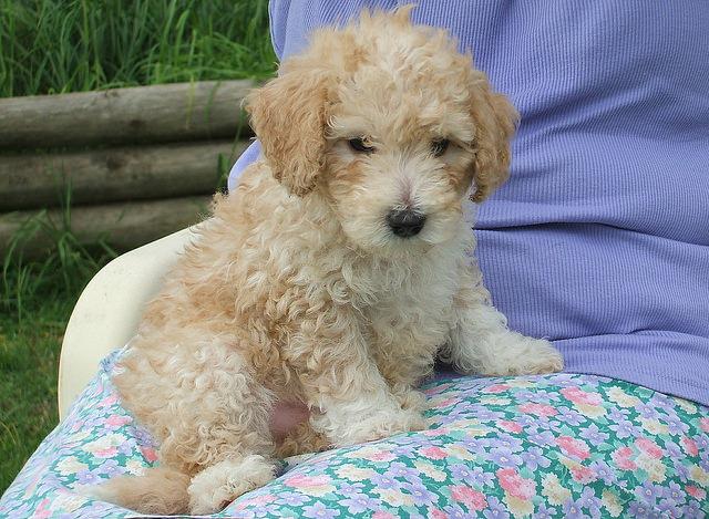 Poodle Fotos De Cachorros Da Ra 231 A Melhoramigo Dog