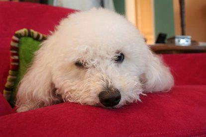 Poodle branco deitado