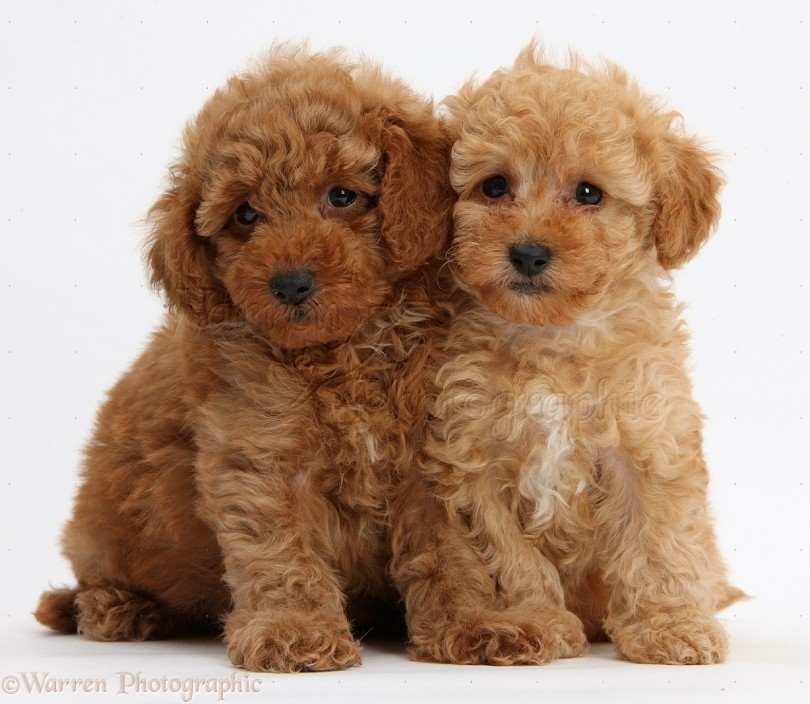 Two cute red Toy Poodle puppies, 8 weeks old, sitting