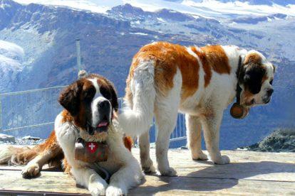 São Bernardo cão de busca