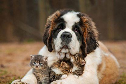 São Bernardo com gatos