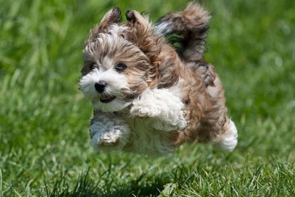Bichon Havanês correndo na grama