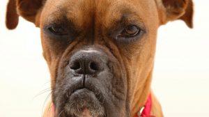 Cachorro Ciumento: Causas, sintomas e tratamento