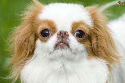 Cachorro Spaniel Japonês