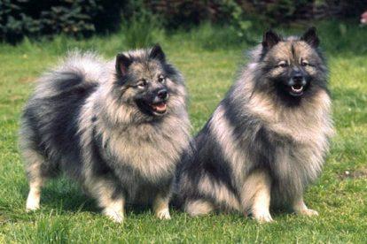 Cachorros Keeshond