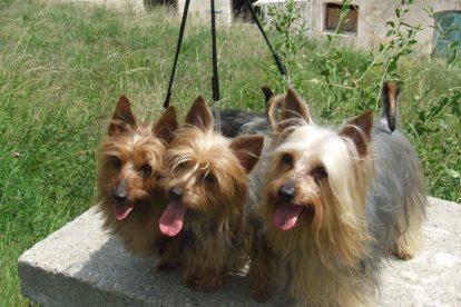 Cachorros Terrier Australiano