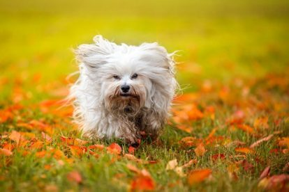 Cão Bichon Havanês