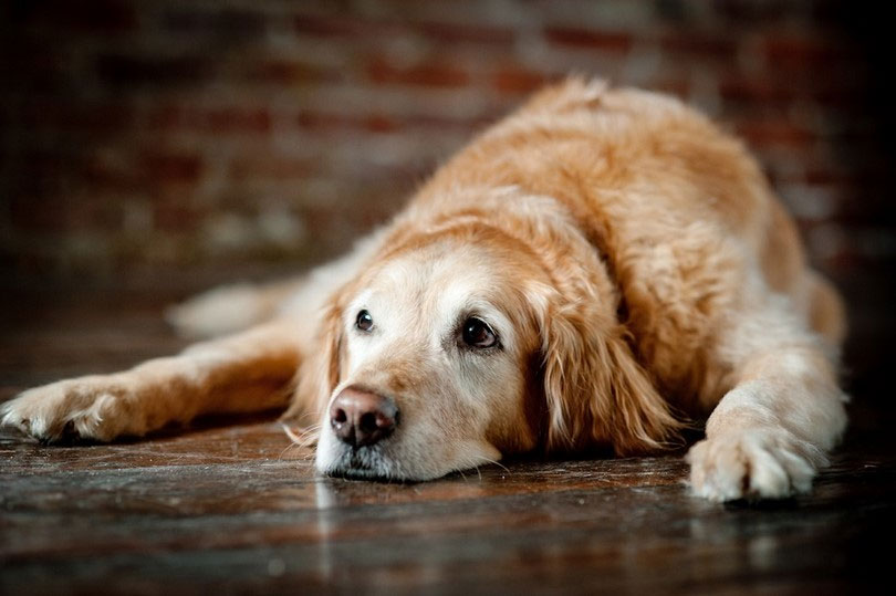 Como cuidar de cachorro idoso