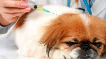 Diabetes Canina: Causas, sintomas e tratamento