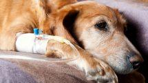 Doação de sangue em cachorros