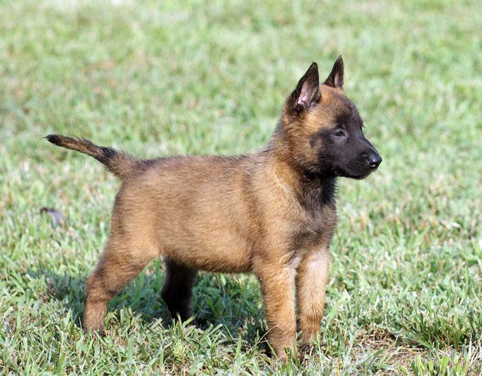 Malinois Dog Bite