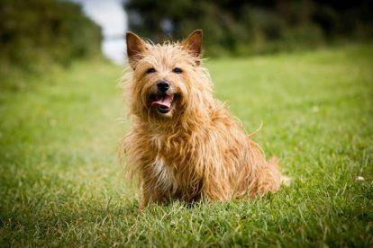 Fotografia Terrier Australiano