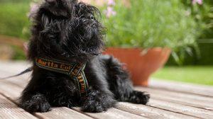 Affenpinscher: Fotos de cachorros da raça