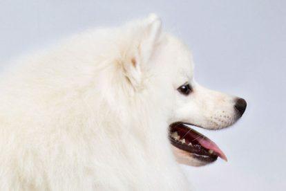 Fotos Esquimó Americano: Conheça a raça de cachorro